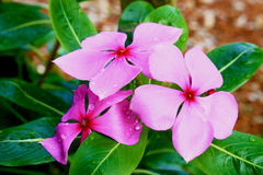 West Indian periwinkle. Periwinkle, flower, garden, pink, vinca, madagascar, blossom, bloom, pinkle-pinkle, background, white, floral, tree, flora, ornamental Stock Photography