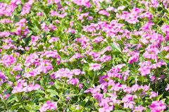 West indian periwinkle in garden Stock Images