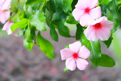 West indian periwinkle, Madagascar Periwinkle Royalty Free Stock Photography