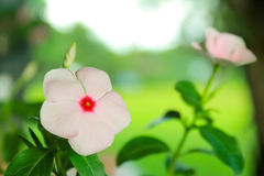 West indian periwinkle, Madagascar Periwinkle Royalty Free Stock Photos
