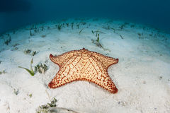 West Indian Starfish Stock Photo