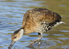 West Indian Whistling-duck Royalty Free Stock Photo