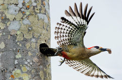 West Indian Woodpecker. Flying off from a hollow nest a West Indian Woodpecker (Melanerpes superciliaris royalty free stock photography