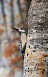 West Indian Woodpecker (Melanerpes superciliaris) Royalty Free Stock Images