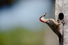 West Indian Woodpecker (Melanerpes superciliaris) Stock Photo