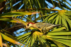 West Indian woodpecker Royalty Free Stock Photography