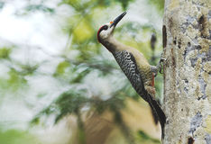 West Indian Woodpecker (Melanerpes superciliaris) Royalty Free Stock Photography