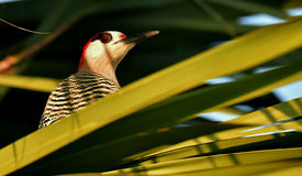 West Indian woodpecker Stock Images