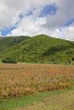 West Indies, Caribbean, Antigua, St Mary, Cades Bay, Antigua Black Pineapple Field Royalty Free Stock Photography