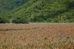 West Indies, Caribbean, Antigua, St Mary, Cades Bay, Antigua Black Pineapple Field Stock Photos