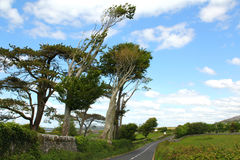 West ireland wind shaped tree big. Wind bent small tree and stone wall on the coast west of Ireland Stock Image