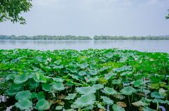 West Lake with lotus flowers and leaves, in Hangzhou, China stock photography