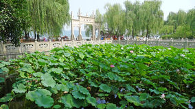 West lake with lotus in summer Royalty Free Stock Photography