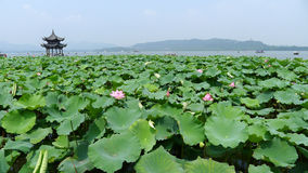 West lake with lotus in summer Royalty Free Stock Photos