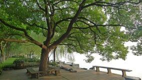 West lake,Su Causeway with Camphor tree stock image