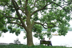 West lake, Su Causeway with Camphor tree royalty free stock photography