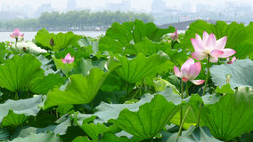 West lake in summer Royalty Free Stock Photo