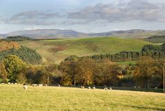 West Lothian, Scotland. November, sheeps Royalty Free Stock Photos