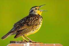 West-Meadowlark Closeup Stockfoto