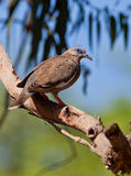 West Peruvian Dove Stock Photo