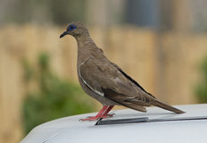 West Peruvian Dove, Zenaida meloda. Closeup of West Peruvian Dove perching on car in Lima Peru Royalty Free Stock Photo