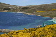 West Point Settlement in the Falkland Islands. Colourfully painted building amongst flowering gorse bushes at the West Point Settlement on West Point Island in Royalty Free Stock Photo