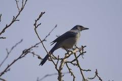 West-Scheuern-Jay (Aphelocoma-californica) Stockfoto