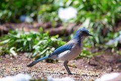West-Scheuern-Jay (Aphelocoma-californica) Stockbild