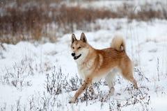 West Siberian Laika stock image