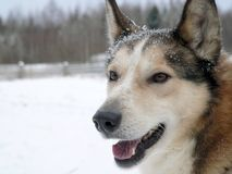 West Siberian Laika Stock Photography