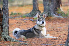 West Siberian laika close up Royalty Free Stock Image