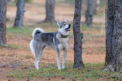 The West Siberian laika in the coniferous wood Stock Photography