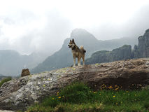 West Siberian Laika Dog in cloudy mountains Royalty Free Stock Images