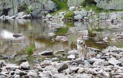 West Siberian Laika Dog near mountain lake. West Siberian Laika Dog on the rocks near still mountain lake royalty free stock image