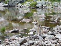 West Siberian Laika Dog near mountain lake. West Siberian Laika Dog on the rocks near still mountain lake royalty free stock photos
