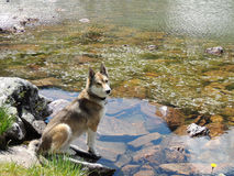 West Siberian Laika Dog near mountain lake. West Siberian Laika Dog on the rocks near still mountain lake stock photography