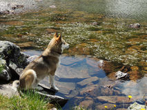 West Siberian Laika Dog near mountain lake. West Siberian Laika Dog on the rocks near still mountain lake stock photos