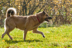 West Siberian laika (husky) Royalty Free Stock Images