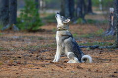 The West Siberian laika looks up at a game Royalty Free Stock Photos