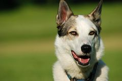 West siberian laika portrait Stock Image