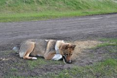 West Siberian Laika. Prey is near. Stock Images