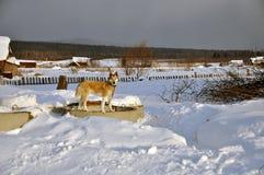West Siberian Laika in winter. Russia. West Siberian Husky Dog in the snowy winter yard. Old believer village Visim, Ural region, Russia royalty free stock photo