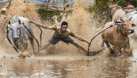 Indonesian Jockey riding bulls in muddy field in Pacu Jawi bull race festival Royalty Free Stock Photography