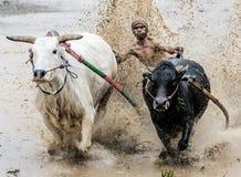 Jockey riding bulls in muddy field in Pacu Jawi bull race festival stock photography