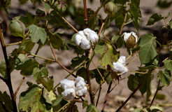 West Texas Cotton. Cotton ready to harvest in a few weeks stock photography