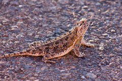 West Texas Horned Toad. Sunning himself Stock Photography