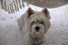West White Highland Terrier. Looking at you Royalty Free Stock Images