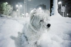 West White Terrier. Westie playing in the snow at night Royalty Free Stock Images