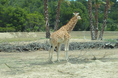 Westafrikanische Giraffen Stockbild