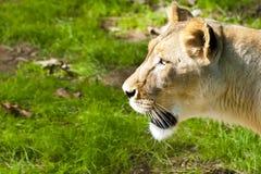 Westafrikanische Löwin Lizenzfreies Stockfoto